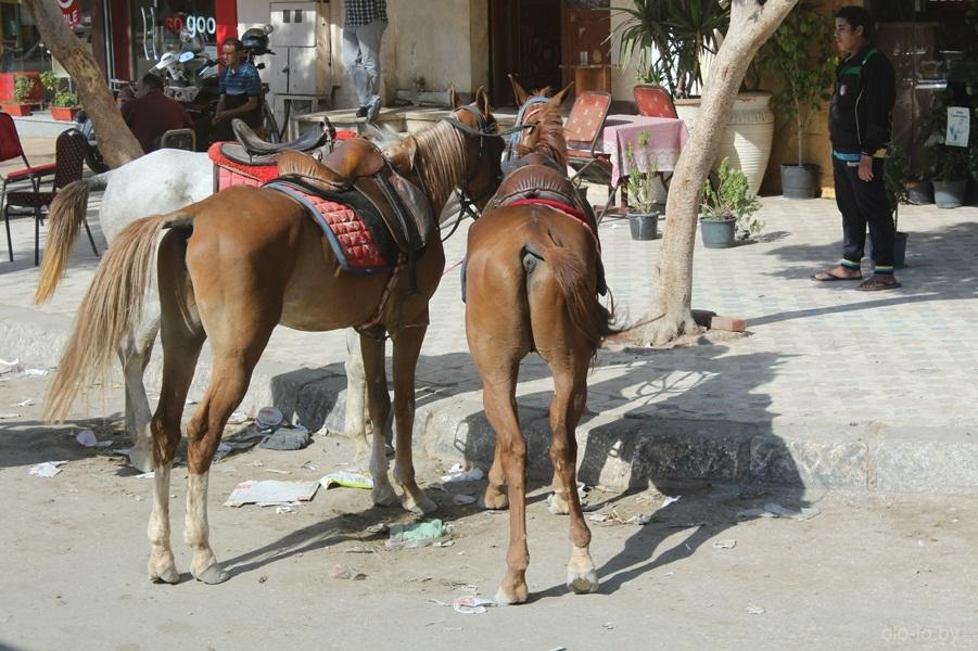 Лошади в Каире 2