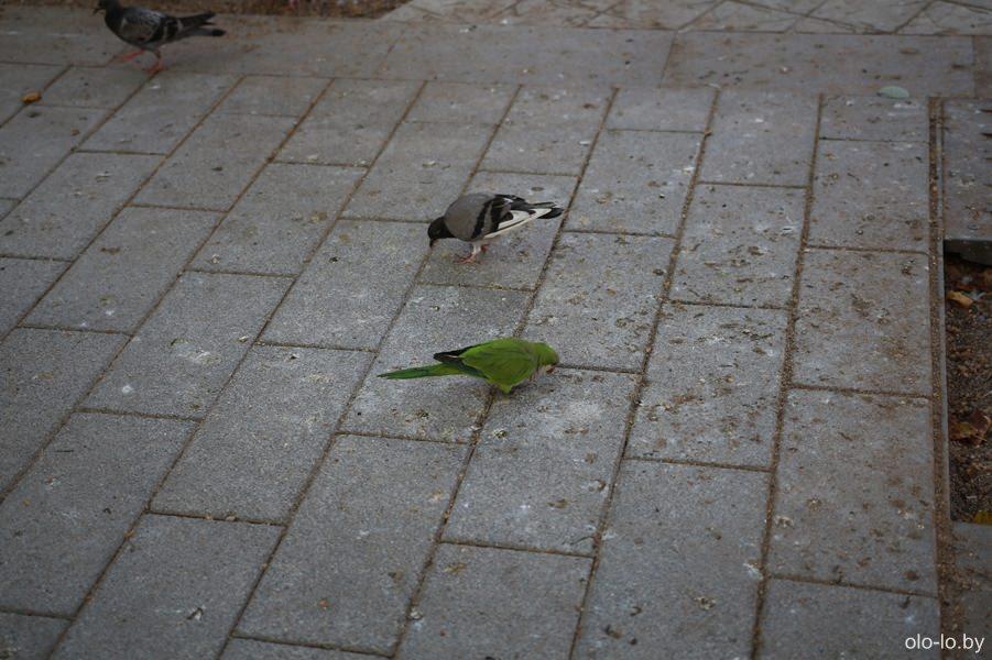 попугай и голубь на Рамбле