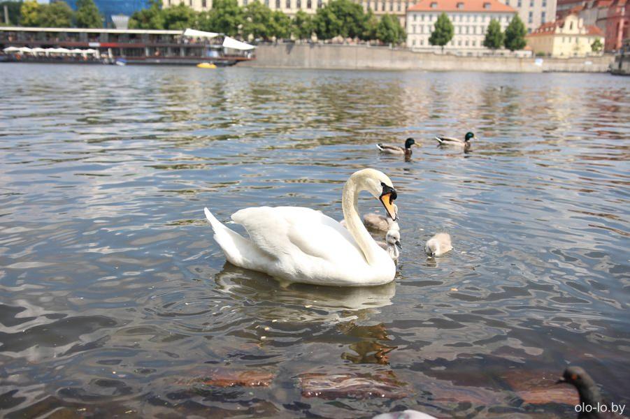 Лебедь на Влтаве, Прага